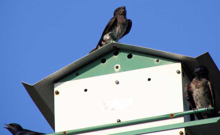 Photo (14): Purple Martin