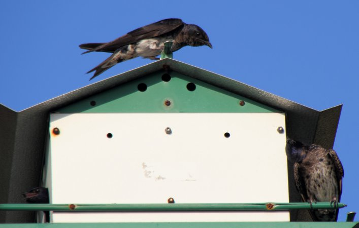 Photo (10): Purple Martin