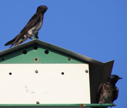 Photo (12): Purple Martin