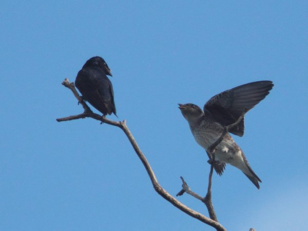 Photo (8): Purple Martin