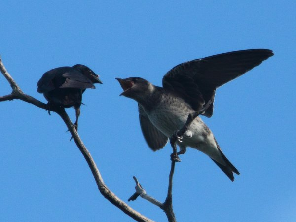 Photo (11): Purple Martin