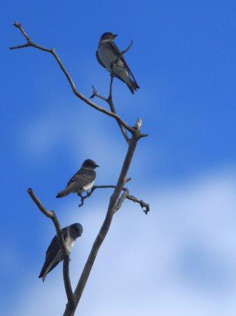 Photo (16): Purple Martin