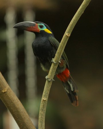 Photo (1): Guianan Toucanet