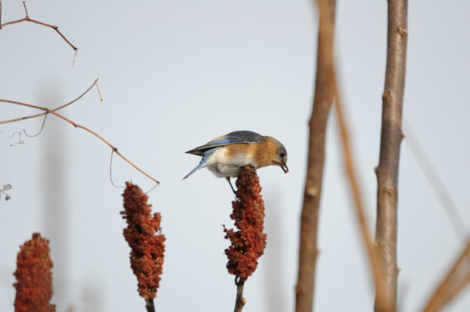Photo (18): Eastern Bluebird