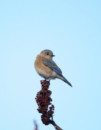 Photo (26): Eastern Bluebird