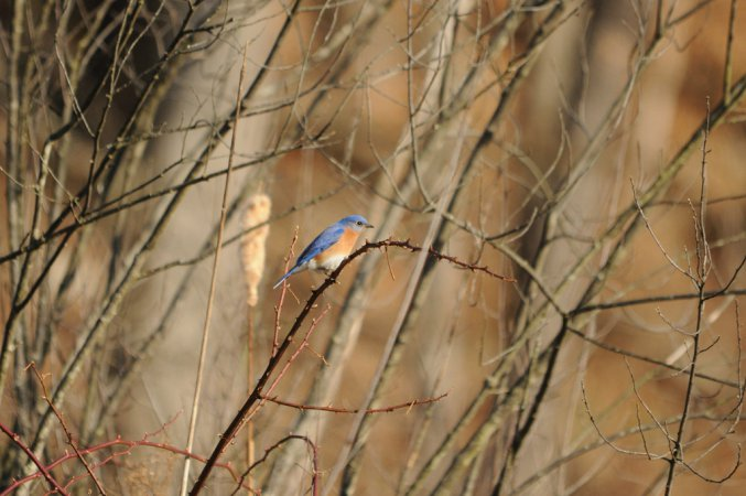 Photo (15): Eastern Bluebird