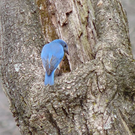 Photo (16): Eastern Bluebird