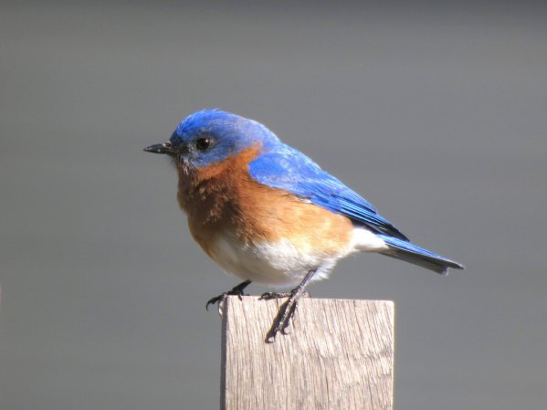 Photo (5): Eastern Bluebird