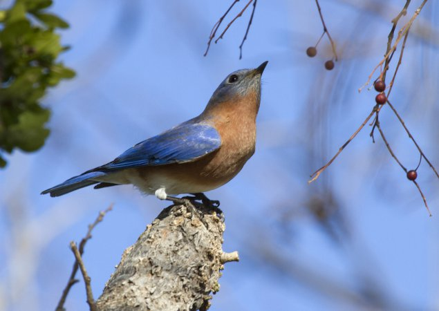 Photo (27): Eastern Bluebird