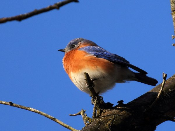 Photo (20): Eastern Bluebird