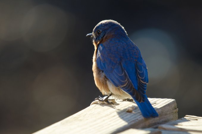 Photo (17): Eastern Bluebird