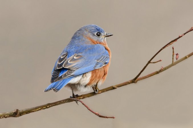 Photo (7): Eastern Bluebird
