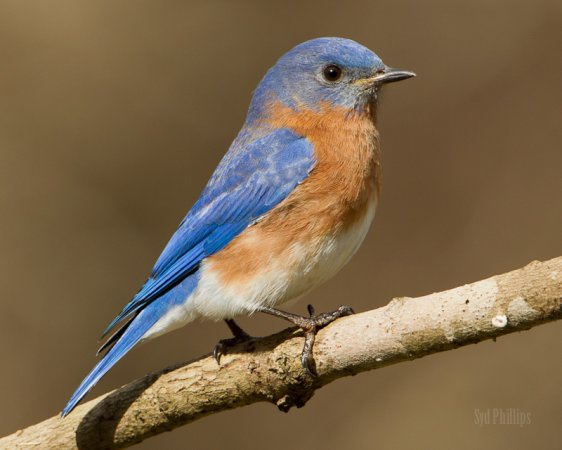 Photo (1): Eastern Bluebird