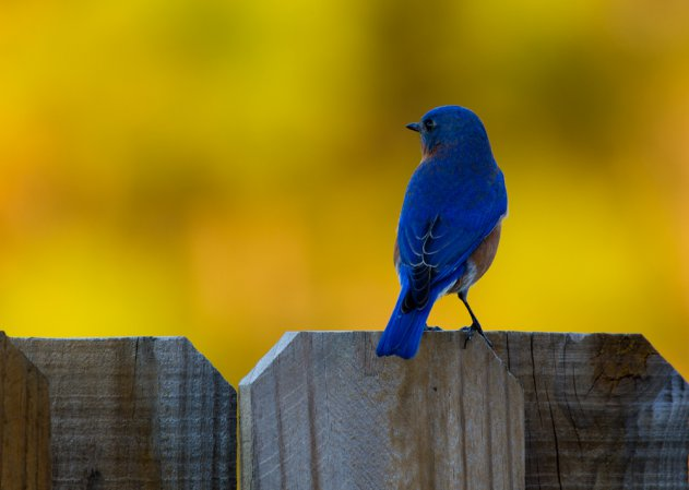 Photo (19): Eastern Bluebird
