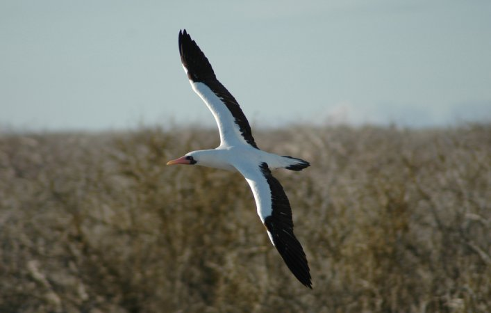 Photo (3): Masked Booby