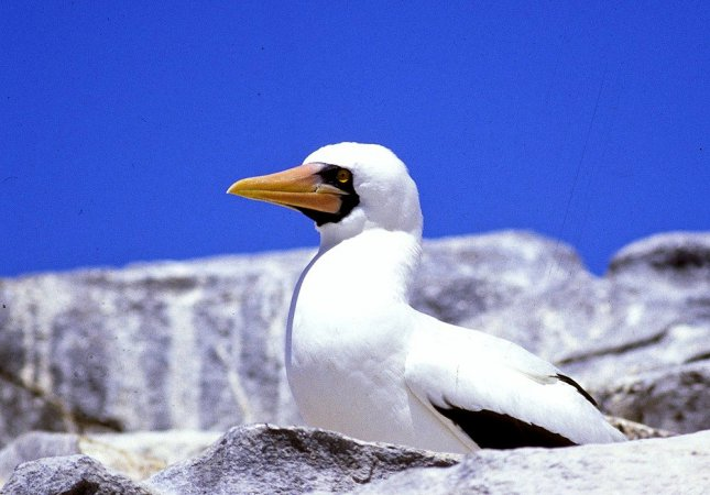 Photo (11): Masked Booby