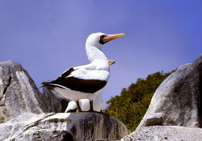 Photo (13): Masked Booby