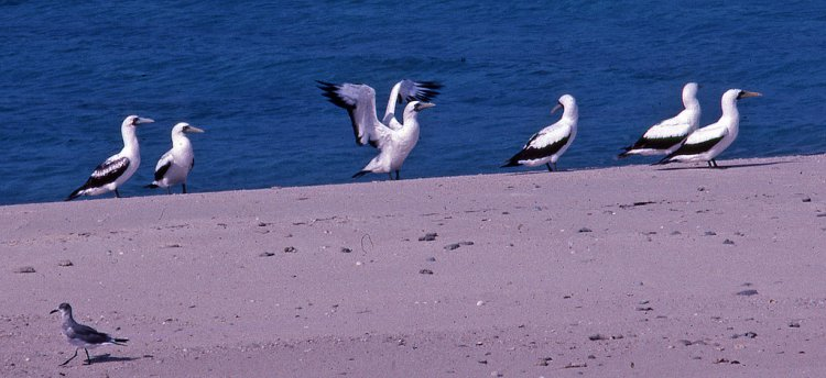 Photo (12): Masked Booby