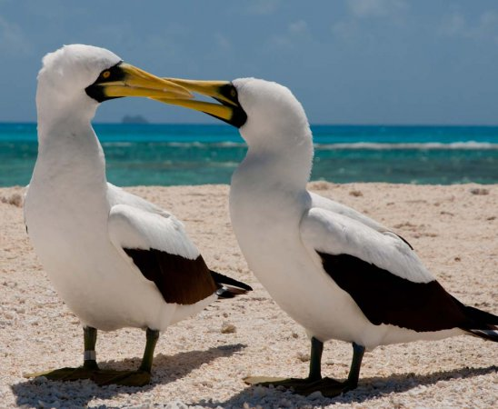 Photo (10): Masked Booby