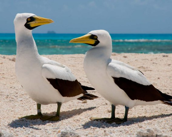 Photo (1): Masked Booby