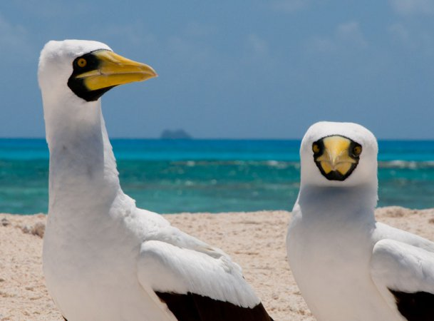 Photo (7): Masked Booby