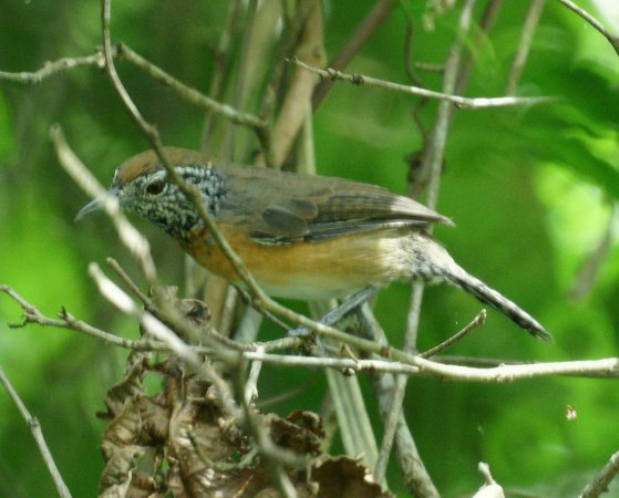 Photo (5): Rufous-breasted Wren