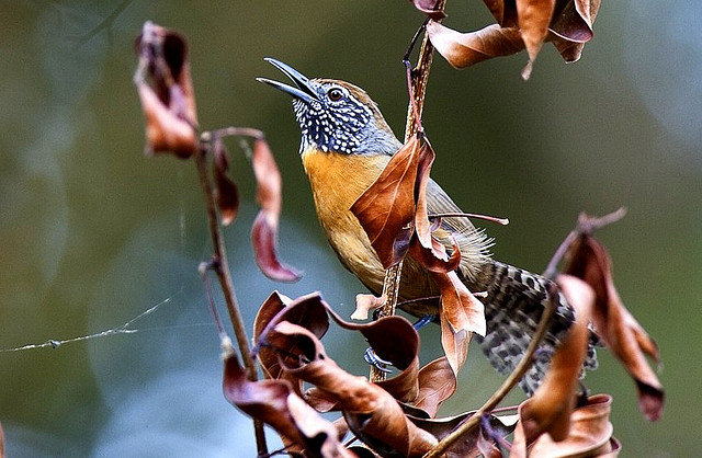 Photo (1): Rufous-breasted Wren