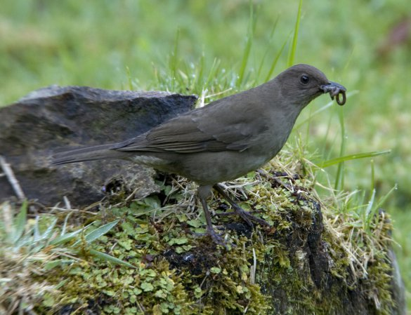 Photo (2): Mountain Thrush
