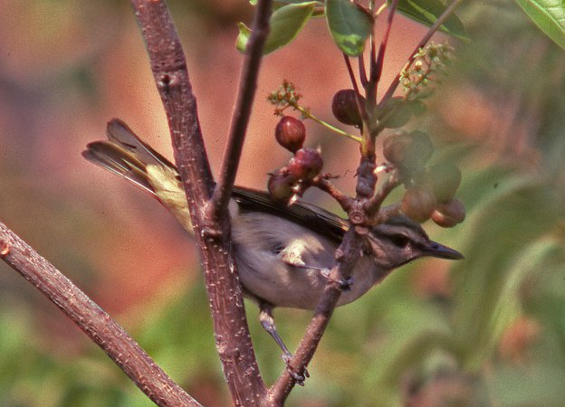 Photo (4): Black-whiskered Vireo