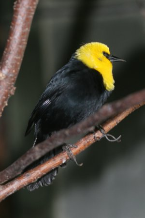 Photo (10): Yellow-headed Blackbird