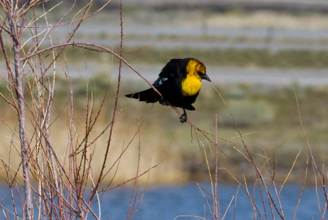Photo (18): Yellow-headed Blackbird