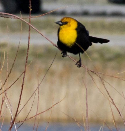 Photo (23): Yellow-headed Blackbird
