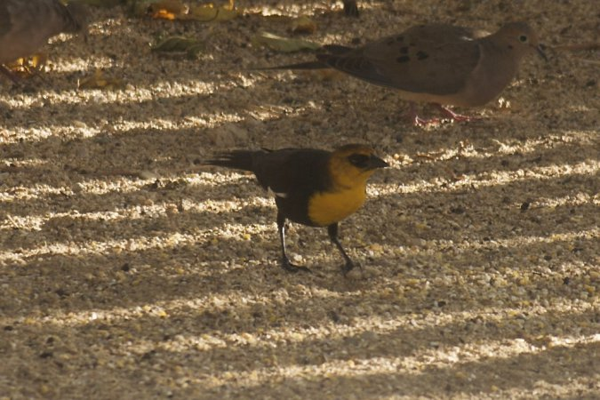 Photo (11): Yellow-headed Blackbird