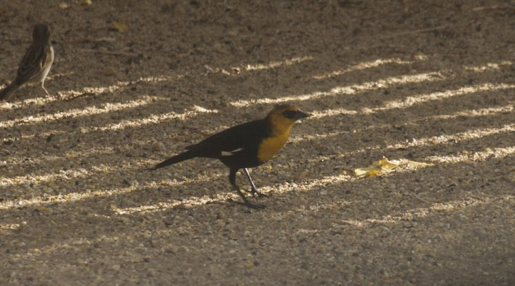 Photo (22): Yellow-headed Blackbird