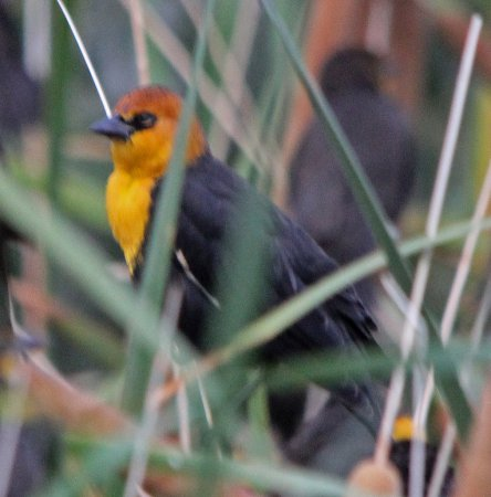 Photo (24): Yellow-headed Blackbird