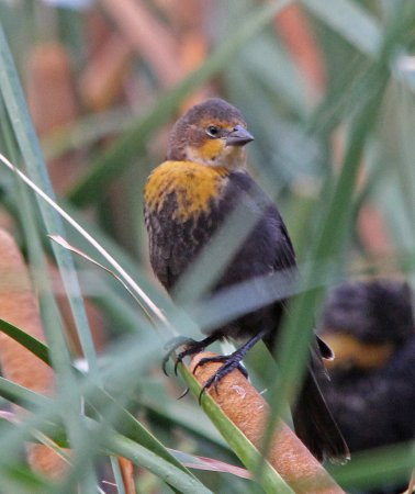 Photo (13): Yellow-headed Blackbird