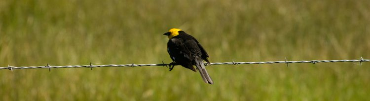 Photo (19): Yellow-headed Blackbird