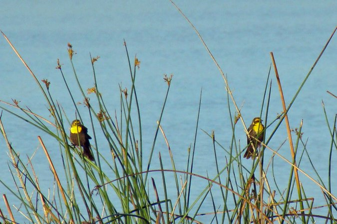 Photo (14): Yellow-headed Blackbird