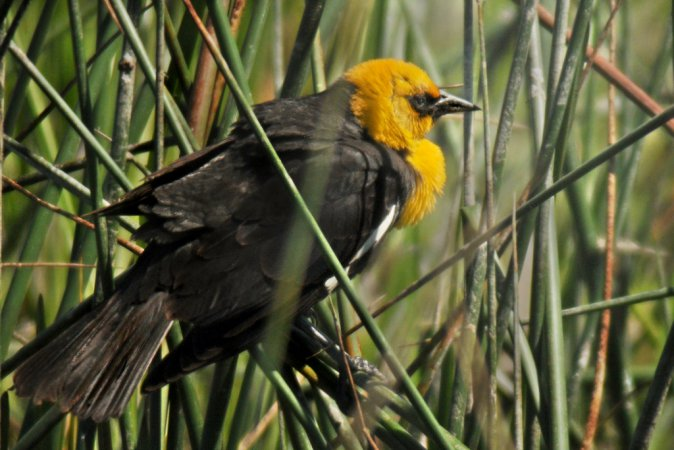 Photo (15): Yellow-headed Blackbird