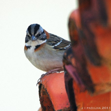 Photo (6): Rufous-collared Sparrow