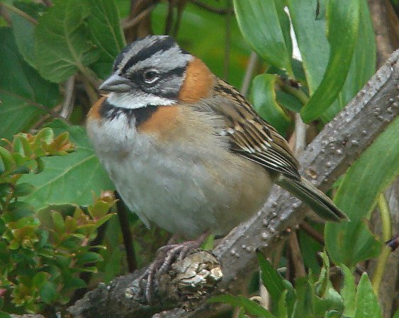Photo (4): Rufous-collared Sparrow