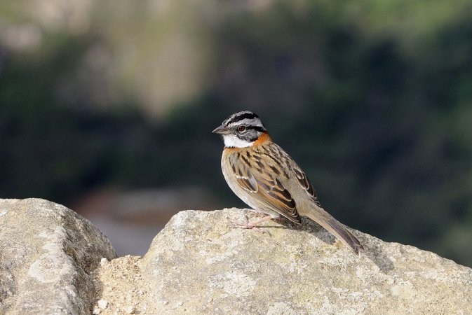 Photo (7): Rufous-collared Sparrow