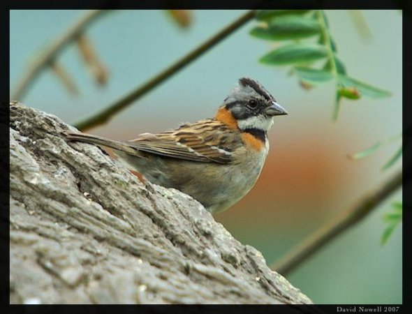 Photo (12): Rufous-collared Sparrow