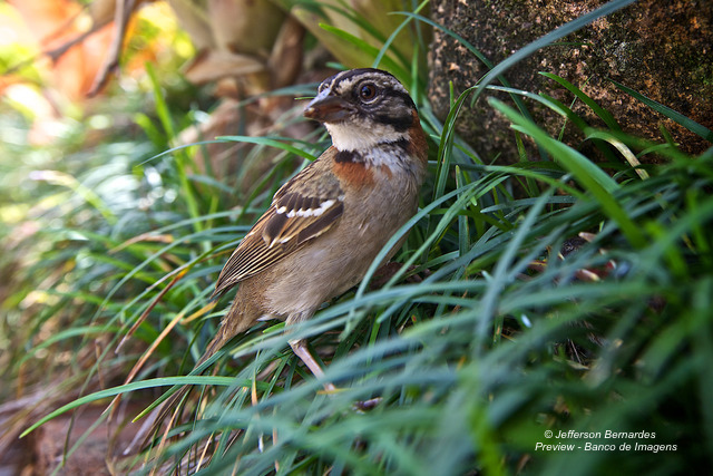 Photo (5): Rufous-collared Sparrow