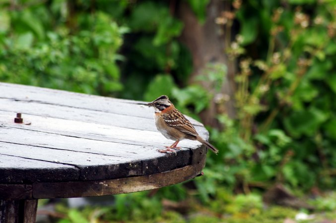 Photo (18): Rufous-collared Sparrow