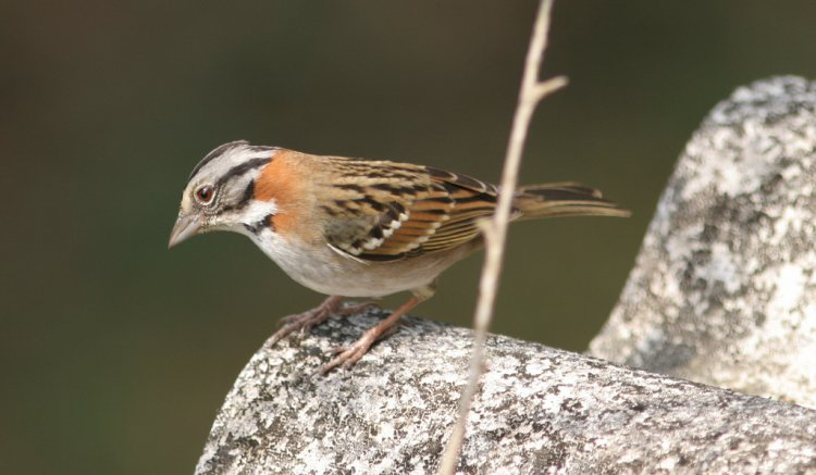 Photo (16): Rufous-collared Sparrow