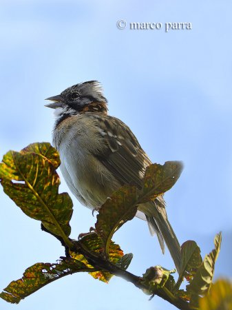 Photo (9): Rufous-collared Sparrow