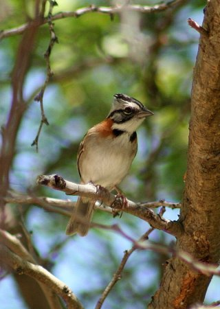 Photo (14): Rufous-collared Sparrow