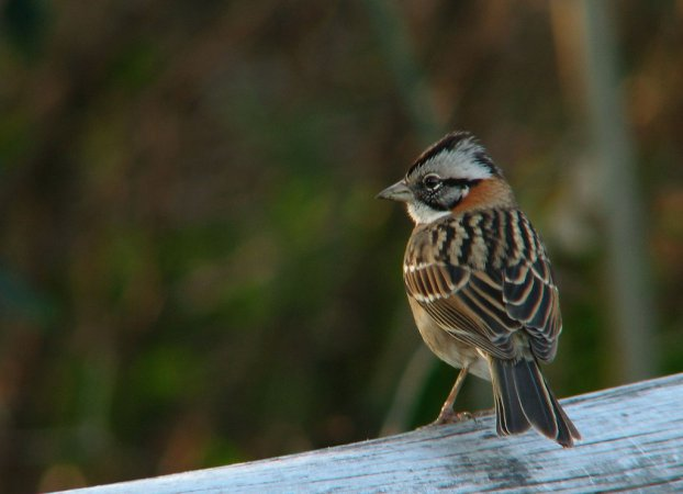 Photo (10): Rufous-collared Sparrow