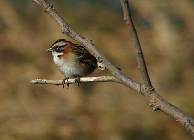 Photo (15): Rufous-collared Sparrow